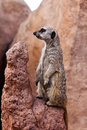 Meerkat stands watch on his rock Royalty Free Stock Images