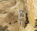 A meerkat stood tall looking out against a rocky back drop Royalty Free Stock Photos