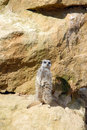 A meerkat stood tall looking out against a rocky back drop Royalty Free Stock Photography