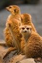 Meerkat (Suricata suricatta) Royalty Free Stock Photos