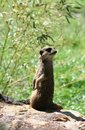 Meerkat a suricata suricatta in budapest zoo Royalty Free Stock Images