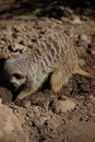 Meerkat (Suricata suricatta) on foraging Royalty Free Stock Photos