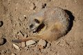 Meerkat (Suricata suricatta) is playing Royalty Free Stock Images