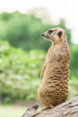 Meerkat (Suricata suricatta) sits on log Royalty Free Stock Photo