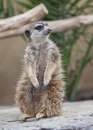 Meerkat suricata suricatta in a zoo Royalty Free Stock Photography