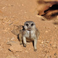 Meerkat suricate animal closeup of small funny Royalty Free Stock Photos