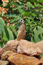 Meerkat suricate animal upright on rear legs small standing guard Stock Photography