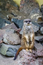 Meerkat or suricate curious standing on two legs Stock Image