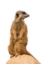 Meerkat (suricate) Royalty Free Stock Photo