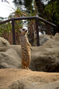 Meerkat a suricate at the la zoo Stock Images