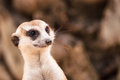 Meerkat or suricate portrait closeup of in the zoo of thailand Stock Photos