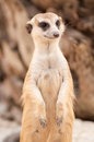 Meerkat or suricate portrait standing in alert position at khao kheow open zoo in thailand Stock Images