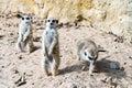 Meerkat or suricate standing guard Stock Images