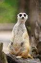 Meerkat or Suricate, Suricata suricatta Royalty Free Stock Photography