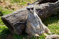 Meerkat suricate or suricata suricatta Royalty Free Stock Photo