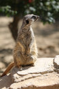 Meerkat or suricate suricata suricatta Stock Photography