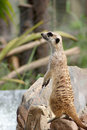 Meerkat the or suricate suricata suricatta is a small mammal belonging to the mongoose family meerkats live in all parts of the Stock Images