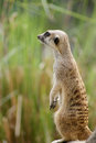Meerkat the or suricate suricata suricatta is a small mammal belonging to the mongoose family meerkats live in all parts of the Stock Photography