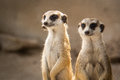 The meerkat or suricate in zoo thailand Royalty Free Stock Photo