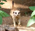 A meerkat takes a cheerful evening stroll looking through the woodsthe or suricate suricata suricatta is small mammal belonging Royalty Free Stock Photo