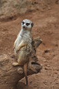 A meerkat on the trunk Royalty Free Stock Photo