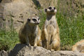 Meerkat two meerkats standing on a rock on the lookout Royalty Free Stock Photos