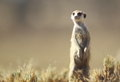 Meerkat a in typical pose in the kalahari Royalty Free Stock Images
