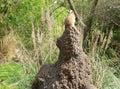 Meerkat on Watch Stock Images