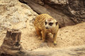 Meerkat Wildlife Stock Photography