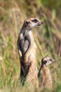 Meerkat with youngster Royalty Free Stock Photography