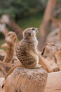Meerkat in the zoo Royalty Free Stock Images