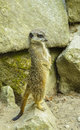 Meerkat at zoo Royalty Free Stock Photo