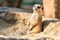Meerkat in the zoo open Stock Image