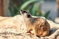 Meerkat in the zoo open Royalty Free Stock Photo