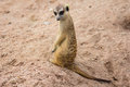 Meerkat in zoo standing khao kiew thailand Royalty Free Stock Photo