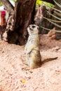 Meerkat at zoo in thailand Stock Image