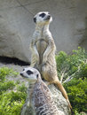 Meerkats Fotos de Stock Royalty Free