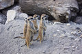 Meerkats funny looking at something Royalty Free Stock Photography