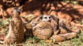 Meerkats huddled together with one on guard and another alert and on the lookout Stock Photo