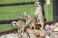 Meerkats live in nature at the zoo summer Royalty Free Stock Image