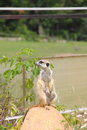 Meerkats live in nature at the zoo summer Stock Images