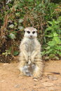 Meerkats live in nature at the zoo summer Stock Photo