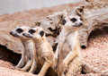Meerkats looking for something with cautious and quiet Stock Image