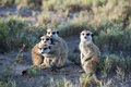 Meerkats looking at you Stock Image