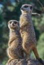 Meerkats on lookout two guard duty Stock Photography