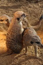 Meerkats meerkat in the zoo the meerkat or suricate suricata suricatta is a small mammal belonging to the mongoose family live in Royalty Free Stock Image