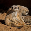 Meerkats Relaxing Stock Photography