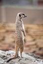 Meerkat - Suricata suricatta Royalty Free Stock Photo