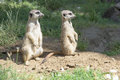 Meerkats, looking in one direction Royalty Free Stock Photo