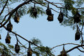 Megabats circle sri lanka greater short nosed fruit bats circled in a tree Stock Photo